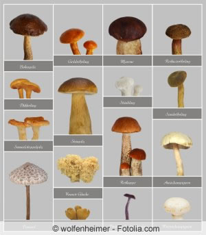 Essbare Pilze - die bekanntesten Waldpilze