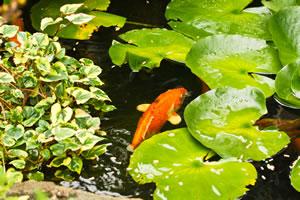 Goldfische Im Teich Haltung Und Vermehrung