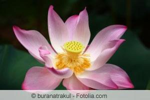 lotusblume nelumbo pflanzen und pflege von lotus lotosblumen. Black Bedroom Furniture Sets. Home Design Ideas