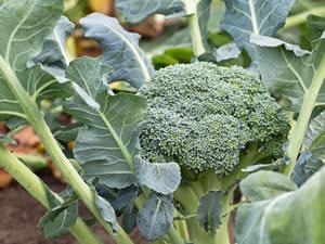 brokkoli broccoli anbau und pflege. Black Bedroom Furniture Sets. Home Design Ideas