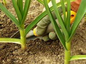 Knoblauch pflanzen anleitung