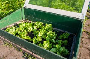 kopfsalat anbau und pflege von salat. Black Bedroom Furniture Sets. Home Design Ideas