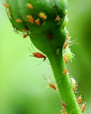 Mit Blattläusen befallene Pflanze