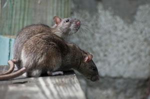 Ratten im Keller