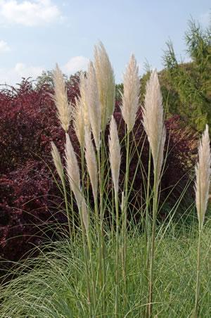 Pampasgras Wann Schneiden : pampasgras cortaderia selloana pflege und schneiden ~ Lizthompson.info Haus und Dekorationen