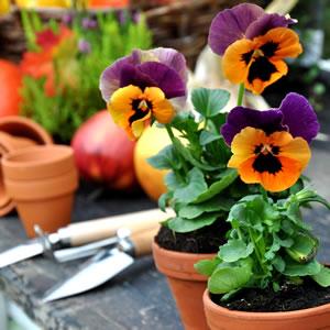 stiefm tterchen hornveilchen pflanzen und pflege. Black Bedroom Furniture Sets. Home Design Ideas