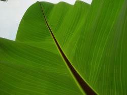 bananenpflanze musa basjoo pflege der bananenstaude. Black Bedroom Furniture Sets. Home Design Ideas