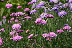 witwenblumen knautia pflege von acker wiesen witwenblume. Black Bedroom Furniture Sets. Home Design Ideas