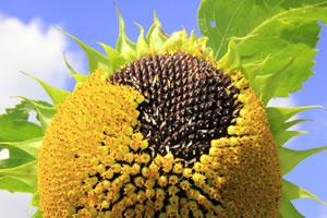 sonnenblumen helianthus annuus steckbrief aussaat und pflege. Black Bedroom Furniture Sets. Home Design Ideas