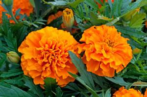 Volle Blüten der Studentenblume