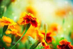 Gelbe Blüten der Studentenblume
