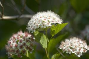 schneeball viburnum pflanzen pflege anleitung schneiden. Black Bedroom Furniture Sets. Home Design Ideas