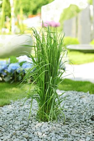 schilfgr ser schilf pflanzen im garten pflege und