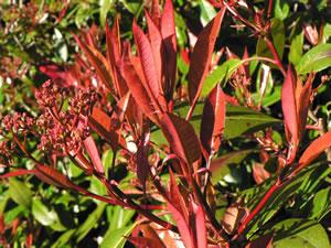 Glanzmispel Rote Blätter Fallen Ab : glanzmispel photinia red robin pflege und schneiden ~ Lizthompson.info Haus und Dekorationen