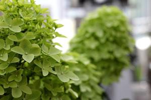 rispenhortensie hydrangea paniculata pflege und schneiden. Black Bedroom Furniture Sets. Home Design Ideas