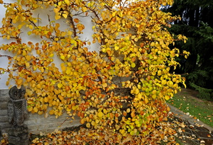 Kletterhortensie im Herbst