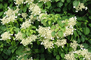 kletterhortensie hydrangea petiolaris pflege anleitung. Black Bedroom Furniture Sets. Home Design Ideas