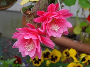 epiphyllum blattkakteen arten und pflege. Black Bedroom Furniture Sets. Home Design Ideas