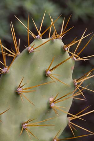 opuntien feigenkaktus pflege anleitung f r kaktusfeigen. Black Bedroom Furniture Sets. Home Design Ideas