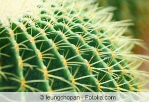 echinocactus grusonii schwiegermutterstuhl pflege anleitung. Black Bedroom Furniture Sets. Home Design Ideas
