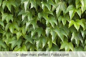 Gemeiner efeu hedera helix pflege vermehrung und als - Efeu zimmerpflanze giftig ...