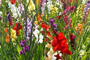 gladiolen gladiolus pflege und berwintern. Black Bedroom Furniture Sets. Home Design Ideas