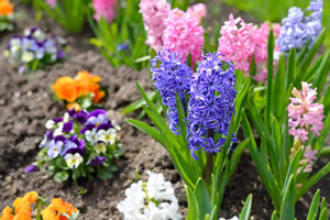 hyazinthen hyacinthus pflanzen pflege im glas und berwintern. Black Bedroom Furniture Sets. Home Design Ideas
