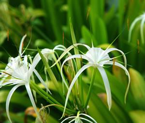 Ismene-Pflanze
