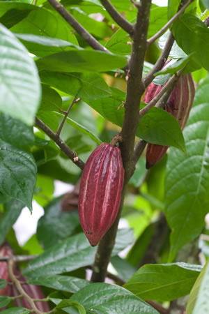 kakaobaum anzucht und pflege der kakaopflanze. Black Bedroom Furniture Sets. Home Design Ideas