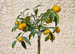 kumquat kumquatbaum fortunella pflege anleitung. Black Bedroom Furniture Sets. Home Design Ideas