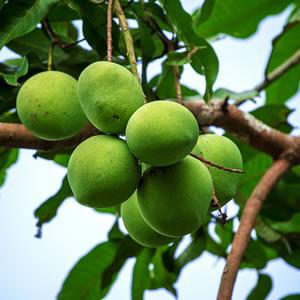 mangobaum mango selber ziehen pflege anleitung. Black Bedroom Furniture Sets. Home Design Ideas