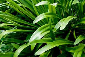schmucklilie agapanthus pflegetipps schneiden und berwintern. Black Bedroom Furniture Sets. Home Design Ideas