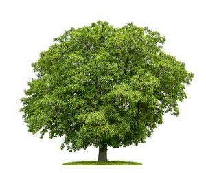 walnussbaum juglans regia sorten und pflege der walnuss. Black Bedroom Furniture Sets. Home Design Ideas