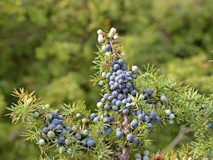 wacholder juniperus communis pflege und schneiden. Black Bedroom Furniture Sets. Home Design Ideas