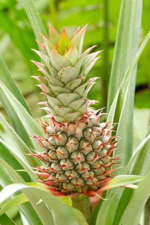 Ananas-Frucht