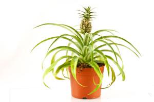 Ananas-Topf