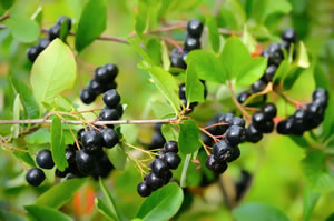 Aronia-Pflanze