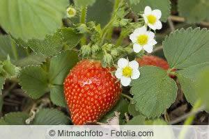 erdbeeren ableger kleinegarten 11 erdbeeren bilden im juli absenker ableger erdbeeren. Black Bedroom Furniture Sets. Home Design Ideas