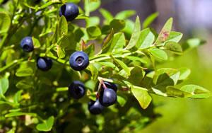 heidelbeeren blaubeeren anbau pflanzen und schneiden. Black Bedroom Furniture Sets. Home Design Ideas
