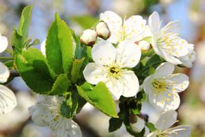 Blüte des Kirschbaums