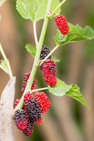 Früchte des Maulbeerbaums