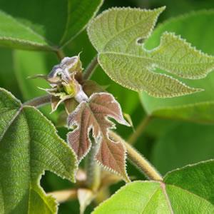 Blätter des Maulbeerbaums