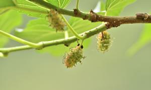 Zweig des Maulbeerbaums