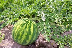 Melone im Beet