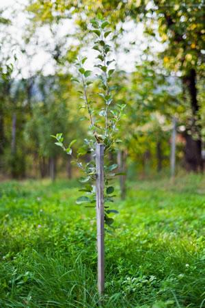 Obstbaum pflanzen