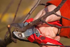 Beschnitt des Obstbaums
