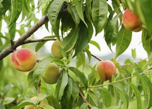 pfirsichbaum pflege schneiden und krankheiten am pfirsich. Black Bedroom Furniture Sets. Home Design Ideas