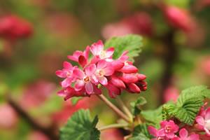 Blüte der Zierjohannisbeere