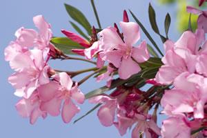 Nahansicht der Oleanderblüte