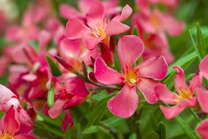 Rote Oleanderblüten